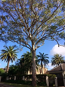Eucalyptus tereticornis - full tree.jpg
