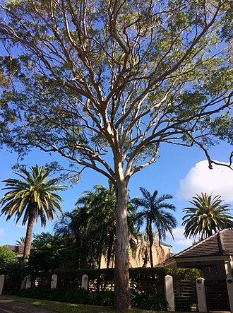 Eucalyptus tereticornis - E. tereticornis, Port Hacking NSW