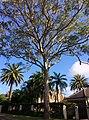 Eucalyptus tereticornis - full tree.jpg