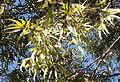 Eucalyptus wandoo 1.JPG