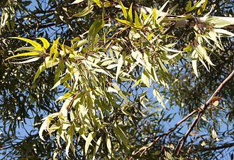 Eucalyptus wandoo - E. wandoo foliage