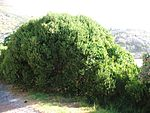Euclea racemosa - Sea Guarrie hedge - Cape Town 2.JPG