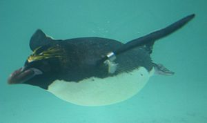 Eudyptes chrysolophus swimming at Twycross Zoo-3.jpg