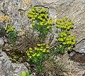 Euphorbia cyparissias in Lozere (3).jpg