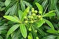 Euphorbia mellifera kz7.jpg