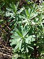 Euphorbia saxatilis sl14.jpg