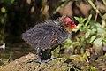 Eurasian coot (Fulica atra) juvenile.jpg