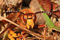 European Hornet - Vespa crabro, Occoquan Bay National Wildlife Refuge, Woodbridge, Virginia.jpg