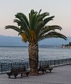 Evening, palm tree, Chalkida Greece.jpg