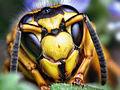 Face of a Southern Yellowjacket Queen (Vespula squamosa) edit.jpg