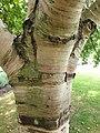 Fagales - Betula pubescens - 3.jpg