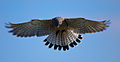 Falco tinnunculus -Whipsnade Zoo, England -hovering-8a.jpg