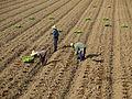 Farmers in Sukhothai.jpg