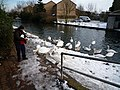 Feeding swans on the Grand Union Canal - geograph.org.uk - 1165213.jpg