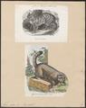 Felis catus - 1700-1880 - Print - Iconographia Zoologica - Special Collections University of Amsterdam - UBA01 IZ22100302.tif