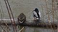 Female and Male Mallards (Anas platyrhynchos) - London, Ontario.jpg