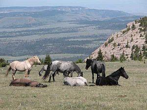 Pryor Mountain Mustang - A herd of Pryor Mustangs