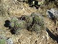 Ferocactus flavovirens (5753719867).jpg