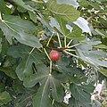 Ficus ja01.jpg