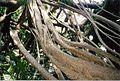 Ficus macrophylla subsp macrophylla LHI.jpg