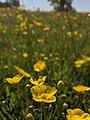 Field of buttercups.jpg