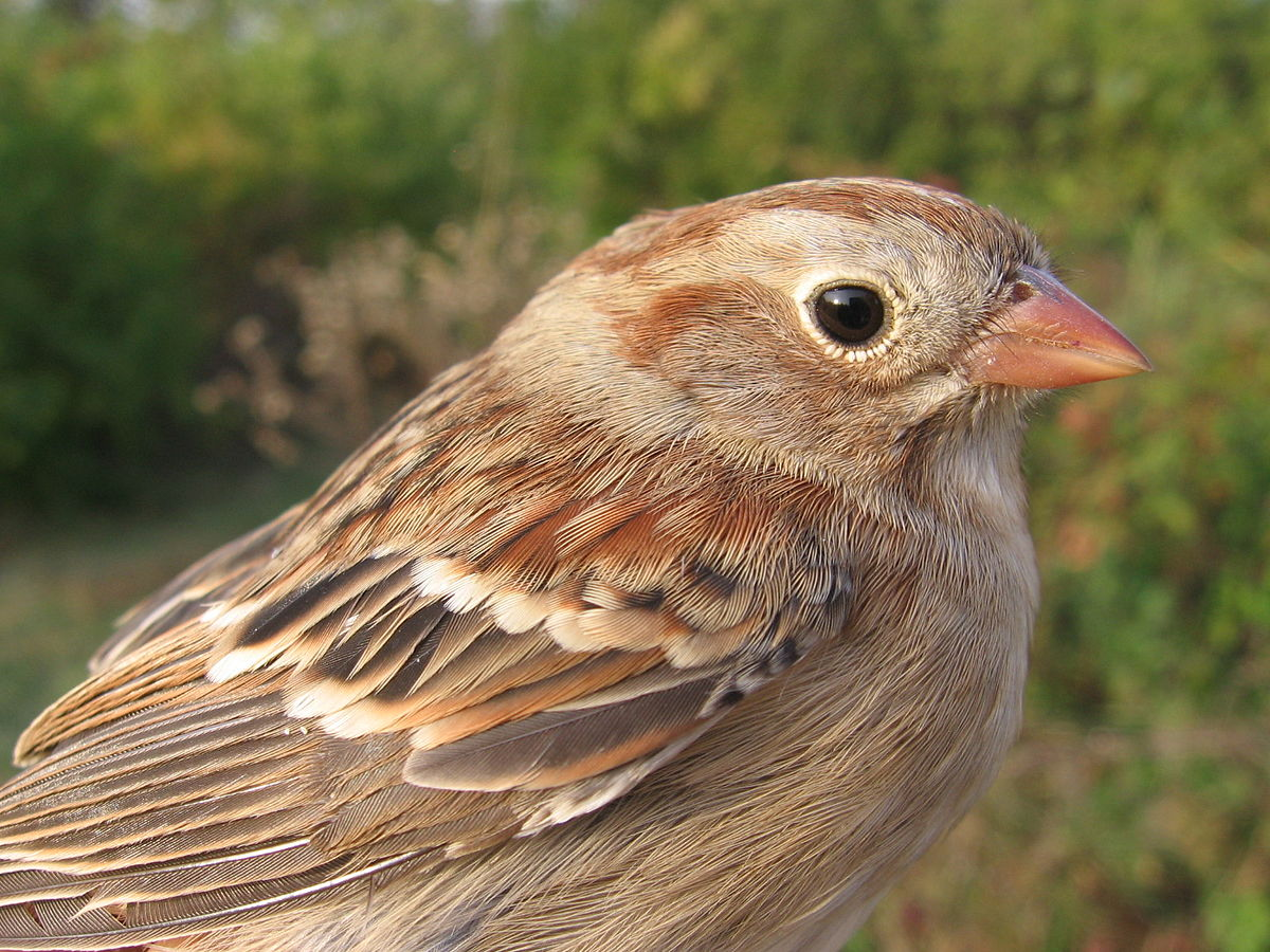 field sparrow wikipedia