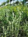 Filago vulgaris sl363.jpg