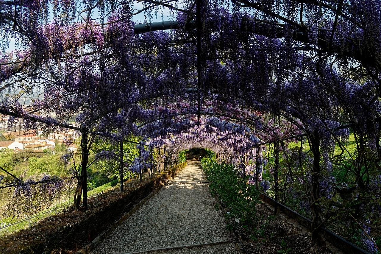 Florence, Giardino Bardini, flowering wisteria