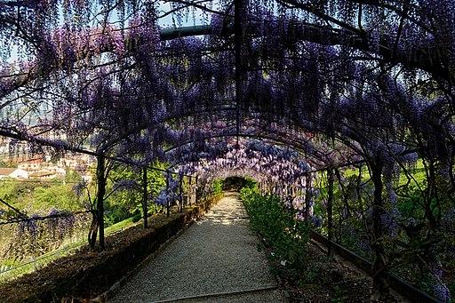 Giardino Bardini, flowering wisteria
