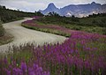 Fireweed lines the Denali Park Road throughout Sable Pass, seen on July 21, 2019. (5b0c3bee-7aaa-4323-86df-0d715cd02862).JPG