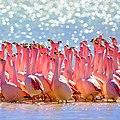Flamingos, Bolivia (34837815411).jpg