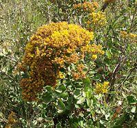 C. rotundifolia