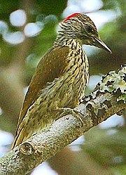 Flickr - Rainbirder - Mombasa Woodpecker (Campethera mombassica) (1) (cropped)