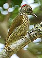 Flickr - Rainbirder - Mombasa Woodpecker (Campethera mombassica) (1) (cropped).jpg