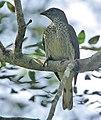 Flickr - Rainbirder - Scaly-throated Honeyguide (Indicator variegatus).jpg