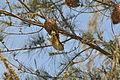 Flickr - fr.zil - Oiseau tisserand (mâle).jpg