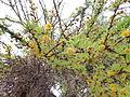Flora del Cerro del Muerto, Aguascalientes 15.JPG