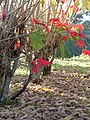 Flores e folhas secas - Castelo Eldorado - panoramio.jpg