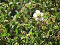 Flores en el Jardín Botánico de Viña del Mar 03.JPG