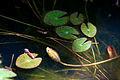 Flower, Pygmy water lily - Flickr - nekonomania (1).jpg