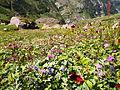 Flower blooms in the Pin Parvati Valley.JPG