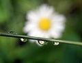 Flower refracting in rain droplets 03-26-11.jpg