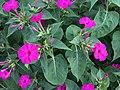 Flowers of Mirabilis jalapa.jpg