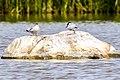 Flussseeschwalbe (19) (34988371686).jpg