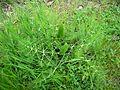 Foeniculum vulgare05.jpg