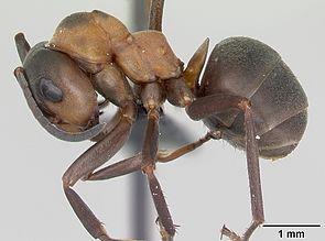 Arbeiterin von Formica polyctena