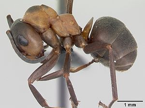 F. polyctena Arbeiterin
