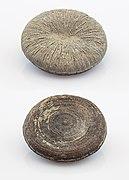 Fosil de coral (Cunnolites elliptica), Goulmima, Marruecos, 2021-01-15, DD 294-400 FS.jpg