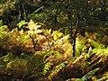 Fougères en forêt de Fontainebleau.JPG