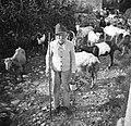 Franc Pavlnov s kozami, Robidišče 1951.jpg
